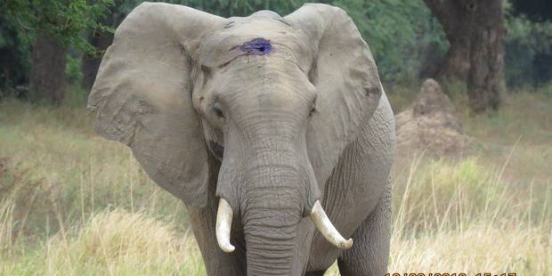 An elephant in Zimbabwe has received medical treatment from a conservation group after being shot in the head by suspected poachers. Photo / Aware-Trust-Zimbabwe