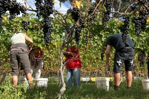 The latest Hawke's Bay grape harvest has given the industry a major boost after recording a solid increase over the 2015 crop.