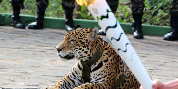 Juma the jaguar. Photo / AFP