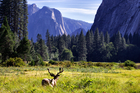 Lord of the valley, a stag surveys his domain in Yosemite National Park in California. Photo / Mark Meredith
