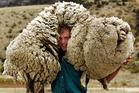 Tarras was home to Shrek the giant merino sheep.