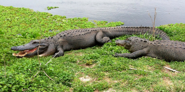 240 alligators have been captured on Walt Disney World property in Florida in the last 10 years. Photo  / AP