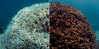 Before, March 2016 (L) and after, May 2016, images of coral bleaching and death at Lizard Island. Photo / AP