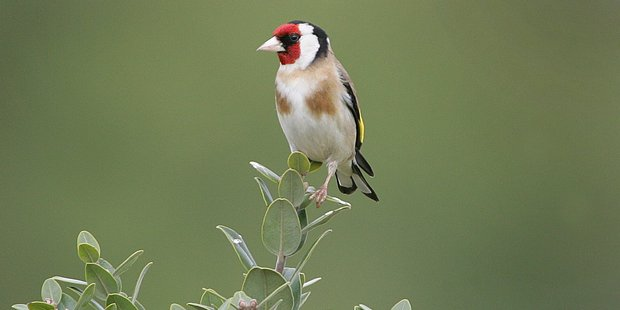 Last year, the goldfinch was the 10th most sighted bird. Photo / Kirsty Head