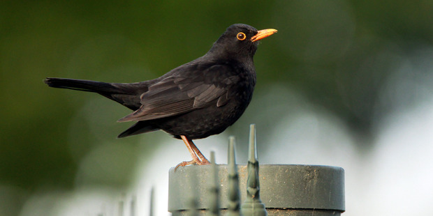 The blackbird rated highly in the survey. Photo /  Glenn Taylor