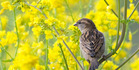 This year marks the 10th anniversary of the New Zealand Garden Bird Survey. The house sparrow has been the most common species found in gardens across the country. Photo: Andrew Walmsley