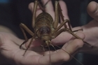 Auckland Zoo hope that the release of hundreds of captive-bred young Wetapunga (Giant Weta) on Otata Island in the Hauraki Gulf will help the health of the islands forests.