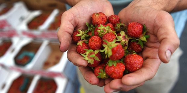 Danny Toigo holds strawberries that are grown at the farm of his uncle, Mark Toigo. Photo / Washington Post