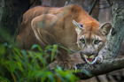 Mountain lion sightings have increased in Colorado, but attacks on humans are rare. Photo / iStock