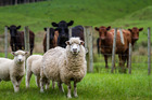 File photo of sheep. Photo / iStock