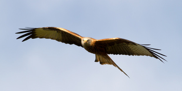 Red Kites are snatching the underpants of skinny dippers in Glen Esk, Scotland. Photo / iStock