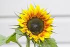 My sunflowers are blooming in winter. Photo / Warren Buckland