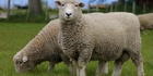 More UK sheepmeat may end up on its domestic market.