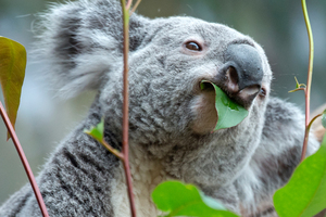A male koala had to be put down after being attacked by a dog north of Brisbane. Photo / AP