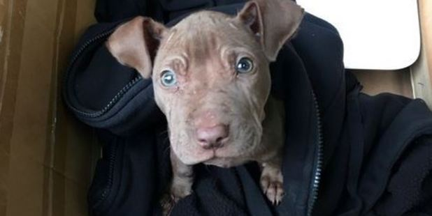 A petition has been set up to save a part-pitbull puppy named Chip, after he was found in a rubbish bin in the Auckland suburb of Grey Lynn.
