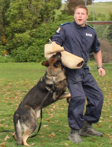 Police dog Carne demonstrates his skills as he tracks down constable Sam Chambers at Weber School last week. Photo / Christine McKay