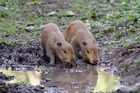 The two male capybara pups were born at the beginning of the month. Photo / Grace Watson