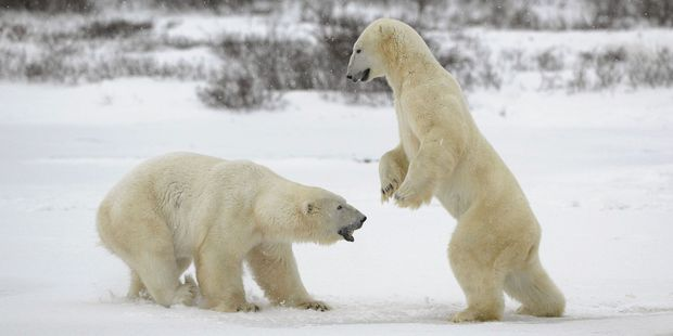 Two sizeable polar bears practise for when they are fully grown adults.
