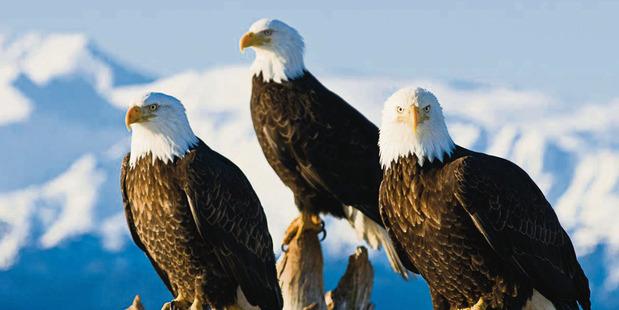 Alaskan bald eagles.