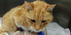 Cat caught in gin trap, seriously injured