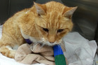 SPCA Auckland is appealing to the public for information after a cat suffered a horrific injury from being caught in an illegally set gin trap on Auckland's North Shore. Photo / SPCA