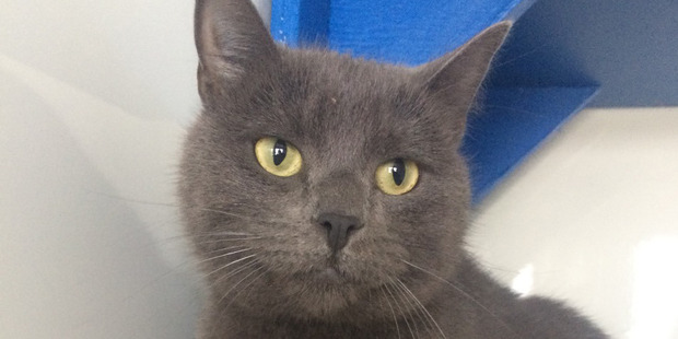 Merlot the cat. Her owner Anatassia Robust, 27, was convicted on a charge of failing to rapidly diagnose the cat's significant injury. Photo / SPCA