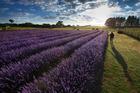Alphra Lavender farm at Kihikihi has more than 12,000 plants. Photo / Brett Phibbs