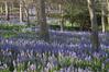 Bluebells in Roland's Wood, Kerikeri.