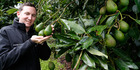 Patrick Malley shows off new-season avocados at his family's Onyx Capital orchard at Maungatapere, near Whangarei. Photo / John Stone