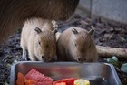 Auckland Zoo wants your help to name two new arrivals - these male capybara pups. Photo / Grace Watson.