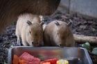 Names sought for zoo's capybara pups