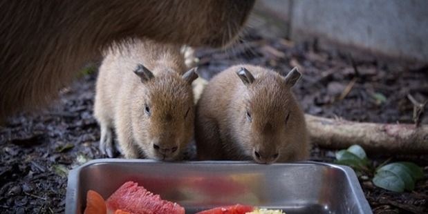Loading Auckland Zoo wants your help to name two new arrivals - these male capybara pups. Photo / Grace Watson.