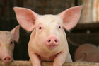 Scientists have found that pigs with more curious temperaments were more likely to oink than their less inquisitive peers. Photo / iStock
