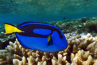 Get up close and personal with Blue Tangs like Dory at these ultimate dive sites. Photo / iStock