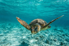 Researchers are hoping to find out where loggerhead turtles are encountering the numerous things that are killing them. Photo / iStock