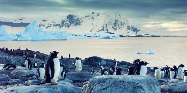 Gentoo penguins on the Antarctic Peninsula. Photo / Getty