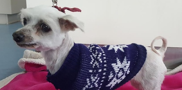 Lavender is an eight-year-old Maltese cross looking for a home.
