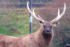 The poachers killed the stag but were disturbed before they were able to take the antlers. Photo / File