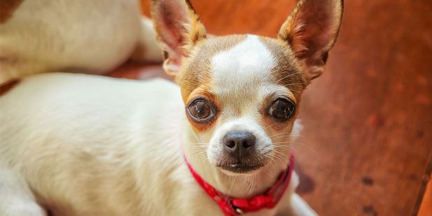 Chihuahuas are possibly the best-known tiny dog of all. Photo / Thinkstock