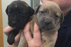 The four-week-old pups was found at 2am today, crawling along a patch of grass along a pathway. Photo / Supplied