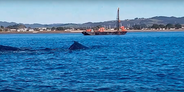 These two humpback whales put on a spectacular show in Whangarei Harbour on Saturday. Photo / Aaron Dyer