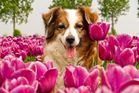 You'll be as happy as a dog in the tulips at this old Dutch style B&B. Photo / Airbnb