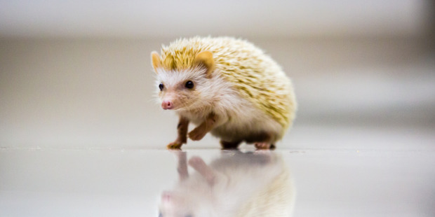Suffolk Wildlife Trust is aiming to create a completely hedgehog-friendly town. Photo / iStock