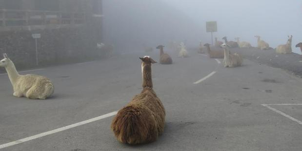 Llamas line the road of the route of the Tour de France. Photo / Facebook