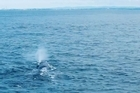 A rare sperm whale sighting in the Hauraki Gulf was caught on camera this morning.  Footage courtesy of Rob Pine.