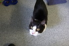 Colin is a playful, energetic cat looking for a home.