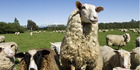 Some of Miles King's famous sheep. Photo / Kingsmeade Artisan Cheese