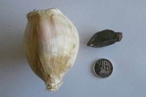 Elephant garlic from Karika Farms.