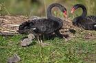 The nesting swan with it's cygnets on the small island at Stonefields housing development, Mt Wellington. Photo / Brett Phibbs