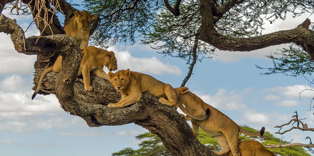 The pride of Lions in a very picturesque African tree after being spooked by a herd of Elephants.Photo/Zhayynn James via Caters News